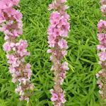 Lythrum salicaria 'Blush' - Kattenstaart - Lythrum salicaria 'Blush'