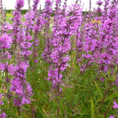 Lythrum salicaria 'Lady Sackville' - Kattenstaart - Lythrum salicaria 'Lady Sackville'