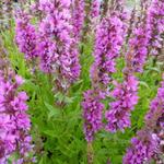 Lythrum salicaria 'Zigeunerblut' - Kattenstaart - Lythrum salicaria 'Zigeunerblut'