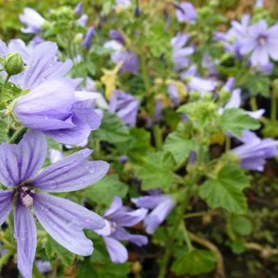 Malva sylvestris 'Primley Blue' - Groot kaasjeskruid - Malva sylvestris 'Primley Blue'