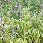 Melica altissima 'Atropurpurea' - Parelgras - Melica altissima 'Atropurpurea'