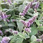 Mentha longifolia `Buddleia'` - Hertsmunt - Mentha longifolia `Buddleia'`