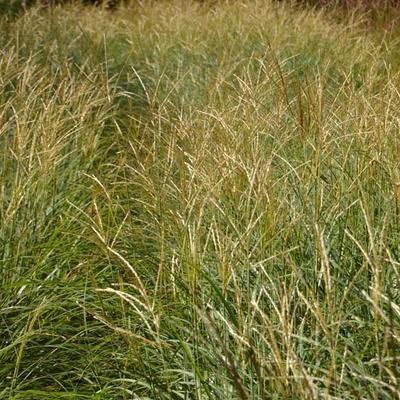 Miscanthus sinensis 'Adagio' - Prachtriet - Miscanthus sinensis 'Adagio'