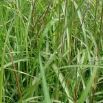 Miscanthus sinensis 'August Feder' - Miscanthus sinensis 'August Feder' - Prachtriet