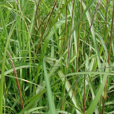 Miscanthus sinensis 'August Feder' - Prachtriet - Miscanthus sinensis 'August Feder'