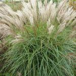 Miscanthus sinensis 'China' - Prachtriet