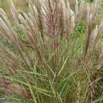 Miscanthus sinensis 'Dread Locks' - Prachtriet