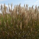 Miscanthus sinensis 'Dronning Ingrid' - Prachtriet