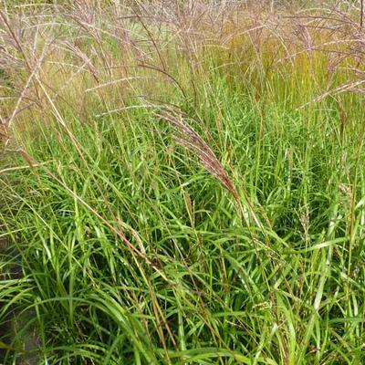 Miscanthus sinensis 'Emmanuel Lepage' - Prachtriet - Miscanthus sinensis 'Emmanuel Lepage'