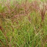 Miscanthus sinensis 'Ferner Osten' - Oosters prachtriet - Miscanthus sinensis 'Ferner Osten'