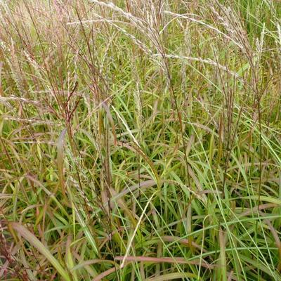 Miscanthus sinensis 'Ghana' -