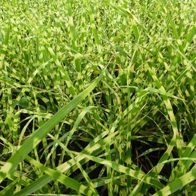 Miscanthus sinensis 'Gold Bar' -