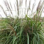 Miscanthus sinensis 'Goliath' - Prachtriet - Miscanthus sinensis 'Goliath'