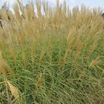 Prachtriet - Miscanthus sinensis 'Herman Mussel'
