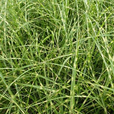 Miscanthus sinensis 'Little Zebra' - Prachtriet - Miscanthus sinensis 'Little Zebra'