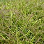 Prachtriet - Miscanthus sinensis 'Navajo'