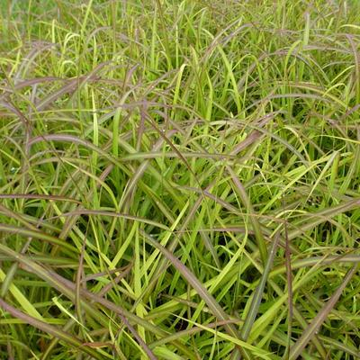 Miscanthus sinensis 'Navajo' - Prachtriet - Miscanthus sinensis 'Navajo'