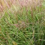 Prachtriet - Miscanthus sinensis 'Nippon'