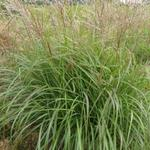 Miscanthus sinensis 'Purple Fall' - Prachtriet