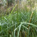 Miscanthus sinensis 'Sirene' - Prachtriet - Miscanthus sinensis 'Sirene'