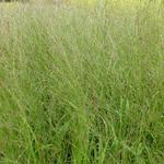 Pijpenstrootje - Molinia caerulea subsp. arundinacea 'Transparent'
