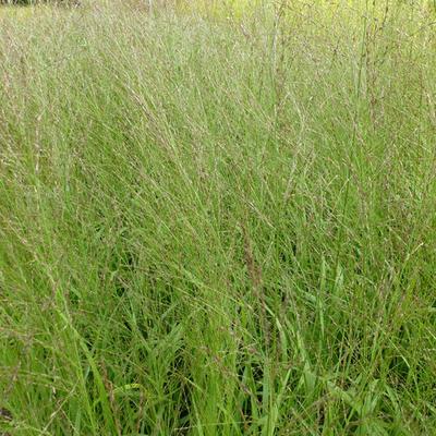 Molinia caerulea subsp. arundinacea 'Transparent' - Pijpenstrootje - Molinia caerulea subsp. arundinacea 'Transparent'