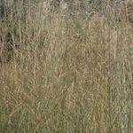 Molinia caerulea subsp. arundinacea 'Windspiel' - Pijpenstrootje - Molinia caerulea subsp. arundinacea 'Windspiel'