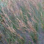 Pijpenstrootje - Molinia caerulea subsp. caerulea 'Edith Dudszus'