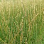Molinia caerulea subsp. caerulea 'Heidebraut' - Pijpenstrootje - Molinia caerulea subsp. caerulea 'Heidebraut'