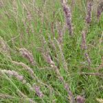 Pijpenstrootje - Molinia caerulea subsp. caerulea 'Moorhexe'