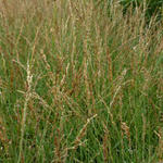 Molinia caerulea subsp. caerulea 'Poul Petersen' - Pijpenstrootje - Molinia caerulea subsp. caerulea 'Poul Petersen'