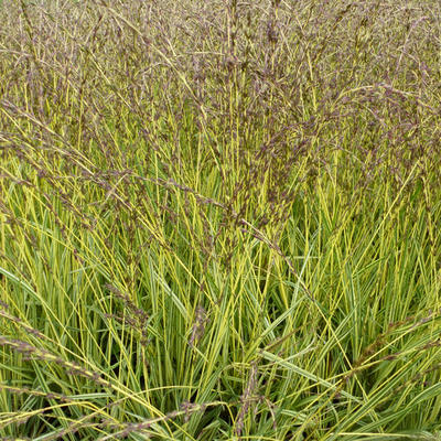 Molinia caerulea subsp. caerulea 'Variegata'  - Pijpenstrootje - Molinia caerulea subsp. caerulea 'Variegata'