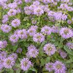 Monarda fistulosa - Bergamotplant - Monarda fistulosa