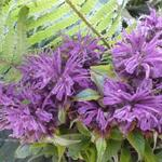 Monarda 'Blaustrumpf' - Monarda 'Blaustrumpf' - Bergamotplant