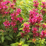 Monarda - Bergamotplant - Monarda