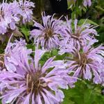 Monarda 'Elsie's Lavender' - Bergamotplant - Monarda 'Elsie's Lavender'