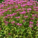 Bergamotplant - Monarda 'Melissa'