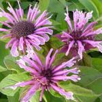 Bergamotplant - Monarda 'Mohawk'
