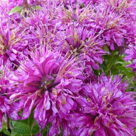 Monarda 'Pardon Me Purple'
