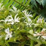 Bergamotplant - Monarda 'Schneewittchen'