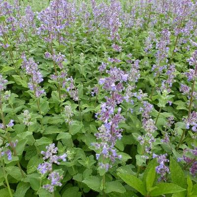 Nepeta grandiflora 'Summer Magic' -