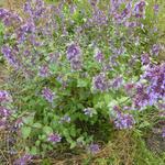 Nepeta grandiflora 'Wild Cat' - Kattekruid - Nepeta grandiflora 'Wild Cat'