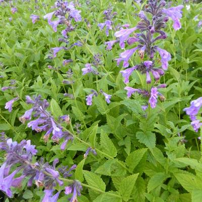Nepeta 'Weinheim Big Blue' -