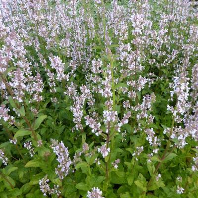 Nepeta nuda 'Anne's Choice' -