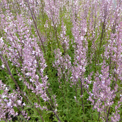 Nepeta nuda 'Purple Cat' -