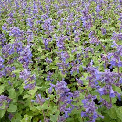 Nepeta racemosa 'Little Titch' -