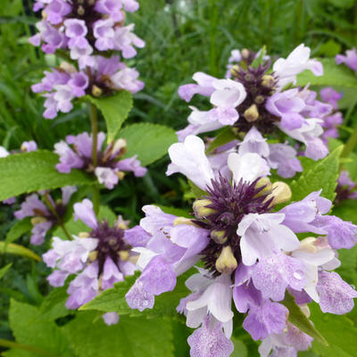 Nepeta subsessilis 'Sweet Dreams' -