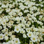 Nierembergia repens - Witte beker - Nierembergia repens