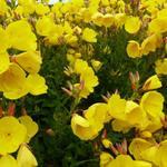 Oenothera fruticosa 'Hohes Licht' - Oenothera fruticosa 'Hohes Licht' - Teunisbloem