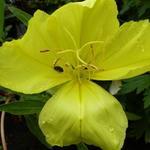 Oenothera macrocarpa - Teunisbloem - Oenothera macrocarpa